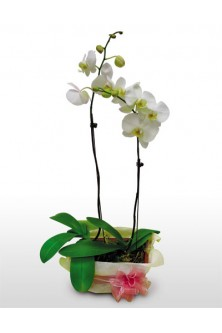 White Green Phalaenopsis